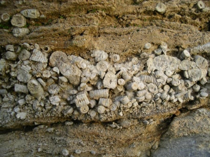 A spectacular example, from Bellman quarry, of crinoids weathering proud of the limestone matrix.