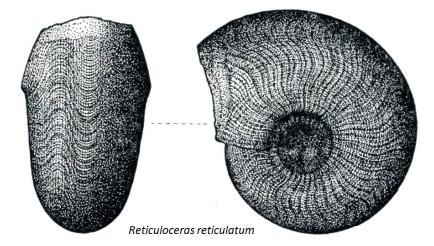 Goniatite, from Plate 57, British Palaeozoic Fossils, British Museum (Nat. History) 1975 6