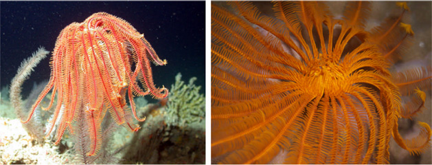Living crinoids, courtesy of LeisurePros aquaview, (via internet) 4