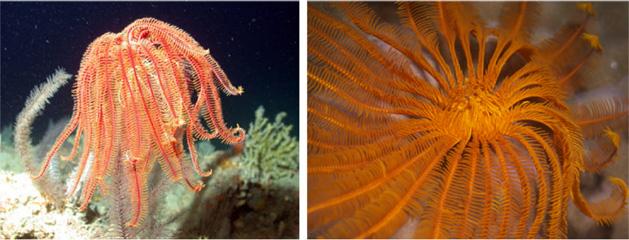 Living crinoids, courtesy of LeisurePros aquaview, (via internet) 4